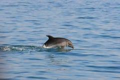 El salto del delfín foto de archivo libre de regalías
