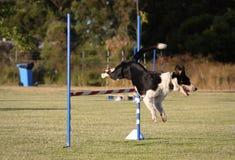 El salto del perro Imagen de archivo