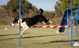 El salto del perro Foto de archivo libre de regalías
