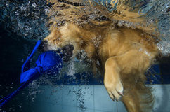 El salto del perro y muerde la bola en la piscina, visión subacuática. fotos de archivo