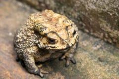 El sapo es ranas comunes de un nombre con certeza imagen de archivo