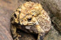 El sapo es ranas comunes de un nombre con certeza imagen de archivo libre de regalías