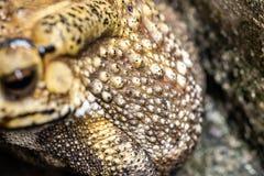 El sapo es ranas comunes de un nombre con certeza imagenes de archivo