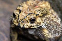 El sapo es ranas comunes de un nombre con certeza foto de archivo