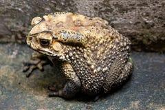 El sapo es ranas comunes de un nombre con certeza fotos de archivo