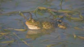 El sapo se sienta en el pantano y canta almacen de metraje de vídeo