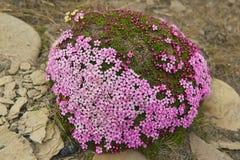 El saxifraga púrpura florece en el musgo que cubre una piedra en Longyearbyen, Spitzbergen, Noruega Foto de archivo libre de regalías