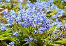 El scilla azul floreciente de las primeras flores azules de la primavera o el S siberiano Imágenes de archivo libres de regalías