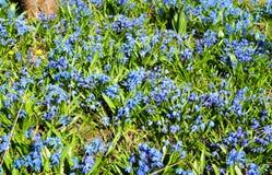 El scilla azul o la esquila siberiana florece en flowe de la primavera natural del 'de Ñ Fotos de archivo libres de regalías