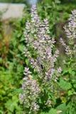 El sclarea de Salvia, el clary o sabio de clary, es un perennial herbáceo bienal o efímero en el género Salvia foto de archivo