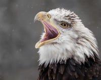 El Screeching se queda calvo Eagle IV imágenes de archivo libres de regalías