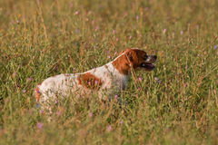 El señalar del perro de la caza Foto de archivo