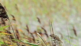 El Seagrass está soplando lentamente almacen de metraje de vídeo