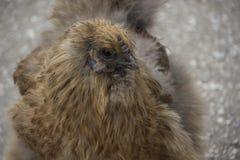 El sedoso a veces deletreada de Silkie es una raza del pollo nombrada Fotografía de archivo