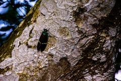 El seebohmi m?s grande de Formotosena de la cucaracha de Taiw?n protegido es como una bruja foto de archivo