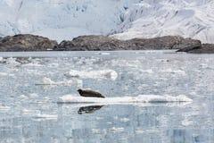 El sello barbudo se está basando sobre una masa de hielo flotante de hielo, Svalbard, Spitsbergen foto de archivo