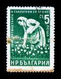 El sello de Bulgaria muestra al recogedor de algodón de la mujer del trabajador, realización temprana del plan de 5 años, circa 1 Fotografía de archivo