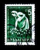 El sello de Bulgaria muestra al recogedor de algodón de la mujer del trabajador, realización temprana del plan de 5 años, circa 1 Fotografía de archivo libre de regalías