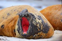 El sello de elefante con pela apagado la piel Animal de mar grande en el hábitat de la naturaleza en Falkland Islands Sello de el Imágenes de archivo libres de regalías