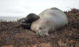 El sello de elefante recién nacido pone a la madre pacífica del mamífero del padre de la playa imagen de archivo