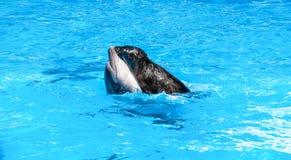 El sello está montando en un delfín en agua azul Imagenes de archivo