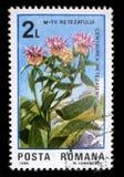 El sello impreso en Rumania muestra retezatensis del Centaurea de la flor Fotos de archivo