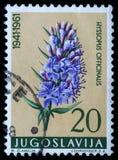 El sello impreso en Yugoslavia muestra el Hisopo imagen de archivo