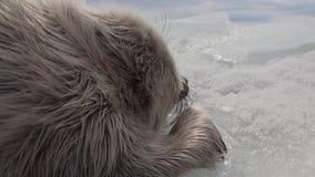 El sello recién nacido blanco en el hielo del lago Baikal en Rusia está descansando reservado almacen de metraje de vídeo