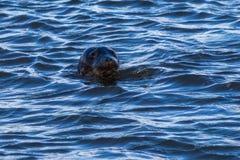 El sello viene a la superficie del océano Foto de archivo