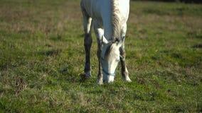 El semental blanco come la hierba en un prado verde Cámara lenta metrajes