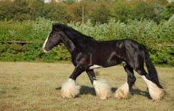 El semental del caballo de proyecto del condado corre en el prado del verano imagen de archivo libre de regalías