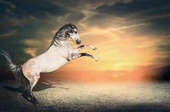 El semental gris hermoso del caballo sube de la tierra en sus dos piernas delanteras primero en el cielo de la puesta del sol foto de archivo libre de regalías