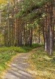 El sendero en verano el parque entre los árboles de pino y los abedules Fotos de archivo