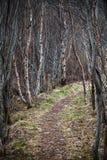 El sendero estrecho pasa a través de bosque del abedul Imágenes de archivo libres de regalías