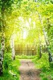 El sendero pasa a través de arboleda del abedul Cerca de madera Luz del sol Fondo natural del verano Imágenes de archivo libres de regalías