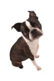 El sentarse de Boston Terrier fotografía de archivo