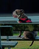 El sentarse de Bulldogg inactivo en un banco del jardín Foto de archivo libre de regalías