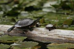 El sentarse de dos tortugas Imagen de archivo libre de regalías