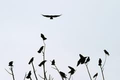 El sentarse de los cuervos Foto de archivo libre de regalías