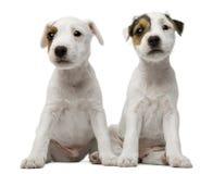 El sentarse de los perritos del terrier de Russell del párroco Imágenes de archivo libres de regalías