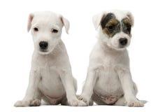 El sentarse de los perritos del terrier de Russell del párroco Fotos de archivo