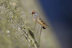 El sentarse de ojos enrojecidos minúsculo de la mosca fotos de archivo libres de regalías