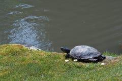 El sentarse de reclinación de la tortuga al lado de las flores blancas cerca de una charca Fotografía de archivo libre de regalías