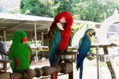 El sentarse de tres loros del Macaw Imagenes de archivo