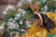 El sentarse delante de un árbol de navidad es un perro basset agujereado y de bostezo foto de archivo