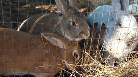 El sentarse en conejos de una jaula come el heno metrajes
