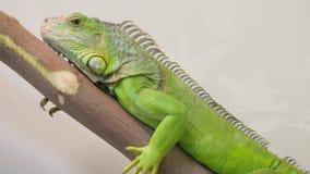 El sentarse grande de la iguana inmóvil en una rama en la pajarera almacen de video