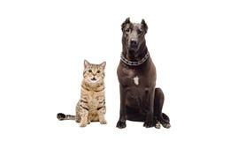 El sentarse recto escocés del terrier de Staffordshire y del gato divertido junto Imágenes de archivo libres de regalías