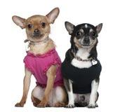 El sentarse vestido de dos chihuahuas Fotos de archivo