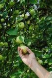 El ser humano despluma manzanas a mano maduras Fotografía de archivo